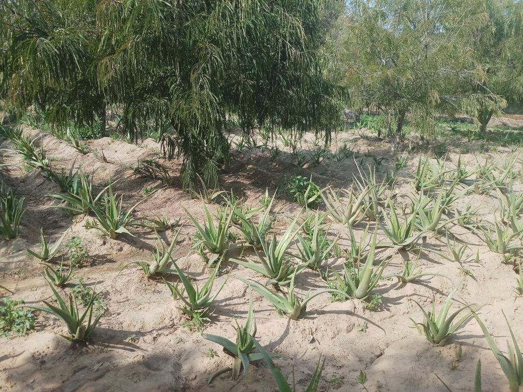 Image for ALOEVERA PULP FOR SALE